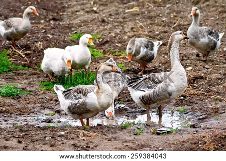 Geese gray against the brown earth, green grass and water - stock photo