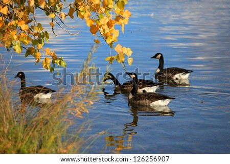 Geese in the lake under autumn tree - stock photo