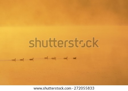 Geese Swimming at Sunrise on Foggy Morning - stock photo