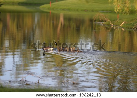 geese swimming with goslings - stock photo