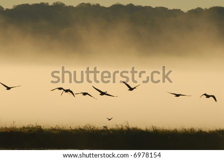 Geese take flight from the refuge of the wetlands waters. - stock photo