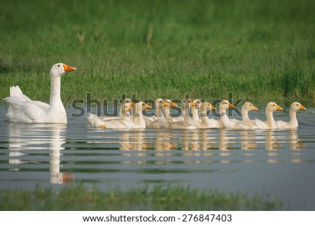 Geese with babies - stock photo