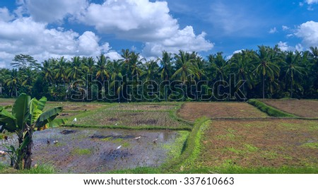 Geeses and herons on a rice field - stock photo