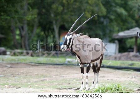 Gembok : Oryx gazela - stock photo