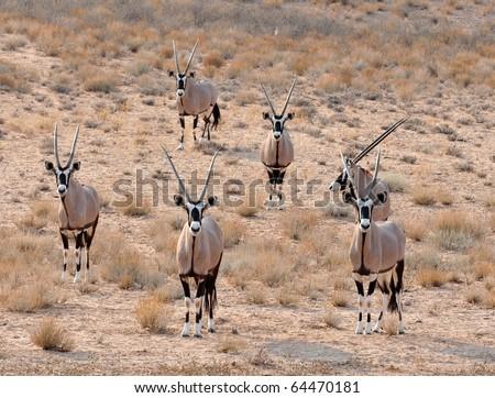 Gemsbok Antelope in the Kgalagadi Transfrontier Park, Southern Africa. - stock photo