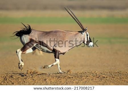 Gemsbok antelope (Oryx gazella) at a waterhole running, Kalahari desert, South Africa - stock photo