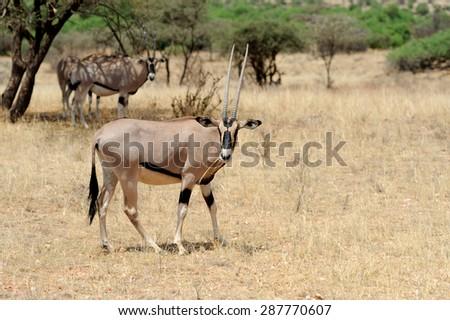 Gemsbok antelope (Oryx gazella) in national Park of Kenya, Africa - stock photo