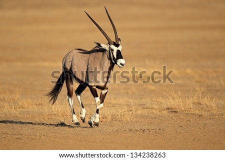 Gemsbok antelope (Oryx gazella) running, Kalahari desert, South Africa - stock photo