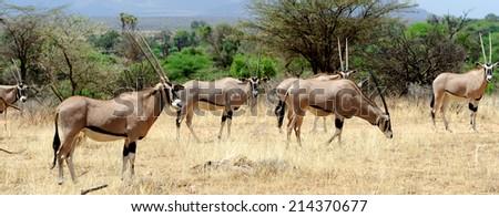Gemsbok antelope (Oryx gazella), South Africa - stock photo