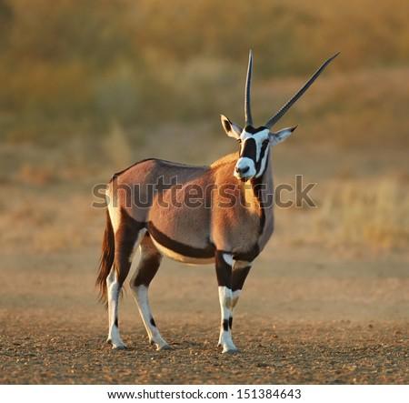 Gemsbok in the desert ( Oryx gazella) - Kalahari -  South Africa - stock photo