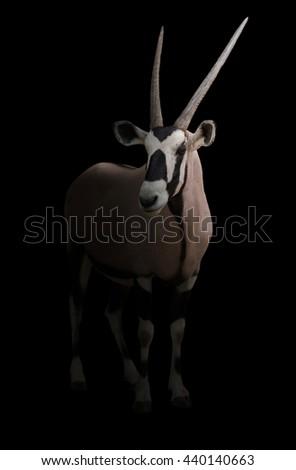 gemsbok or oryx gazella in dark background - stock photo