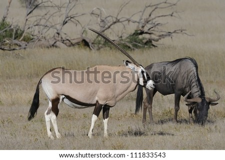 Gemsbok (Oryx gazella)  and Brindled gnu (Wildebeest) graze on grass in the kalahari desert, Kgalagadi Transfrontier Park, South Africa - stock photo
