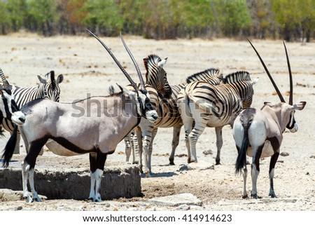Gemsbok, Oryx gazella, dominant Gemsbok antelope in the park and zebra on waterhole, Etosha, Namibia - stock photo
