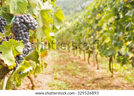 General view of vines with a large bunch of red wine grapes. Ripe grapes with green leaves in direct sunlight. Nature background with vineyard. Wine concept. Horizontal, warm color - stock photo