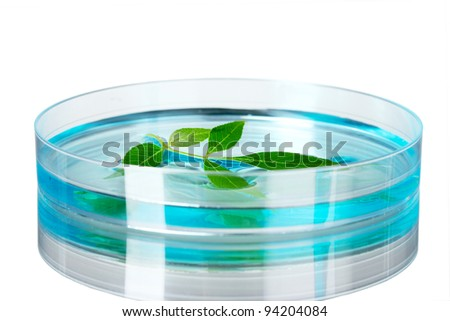 Genetically modified plant tested in petri dish on gray background - stock photo