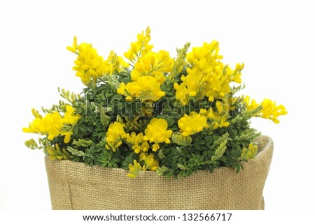Genista of the bowl of the crocus sack - stock photo