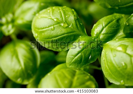 Genovese basil (Ocimum basilicum) seedling plant close up - stock photo