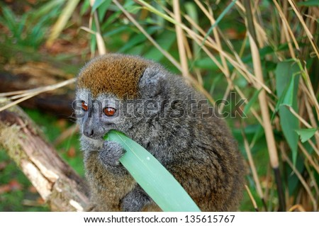 Gentle Lemur - stock photo