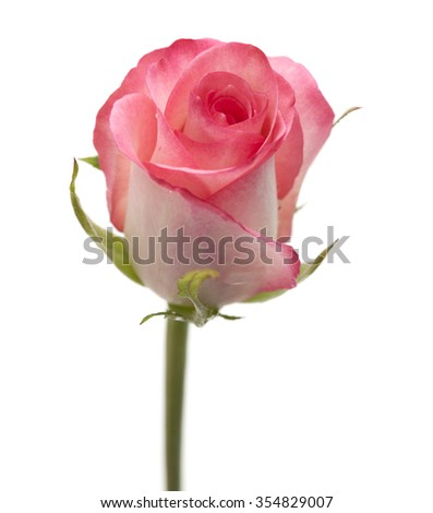 gentle pink rose flower isolated on white background - stock photo