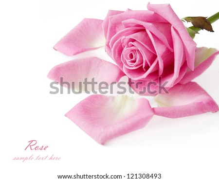 Gentle pink rose with petals isolated on white background - stock photo