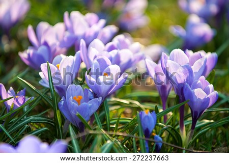 gentle purple crocus flowers  close-up spring background  - stock photo