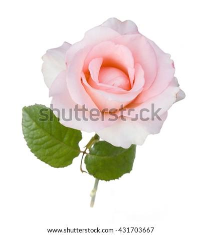 Gentle Rose isolated on white background - stock photo