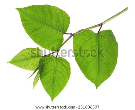 Gentle spring isolated branch with big  green leaves in the form of heart - stock photo