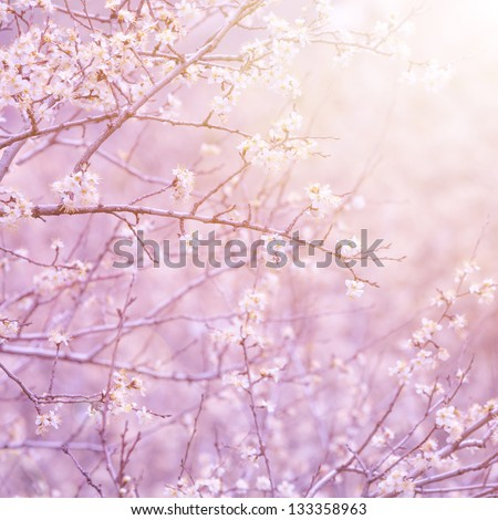 Gentle white flowers on fruit tree branch in morning purple sun light, natural background, first blooming, spring nature - stock photo
