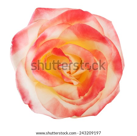 Gently pink rose close-up - stock photo
