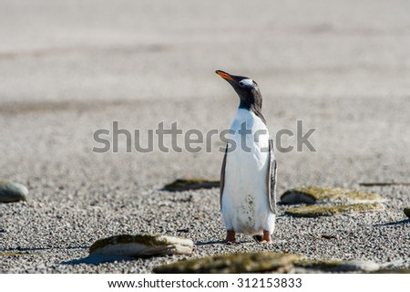 Gentoo penguin - stock photo