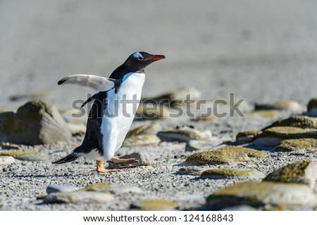 Gentoo penguin among the stones.  Falkland Islands, South Atlantic Ocean, British Overseas Territory - stock photo