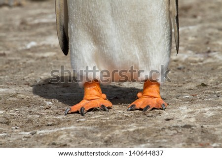 Gentoo penguin feet - stock photo