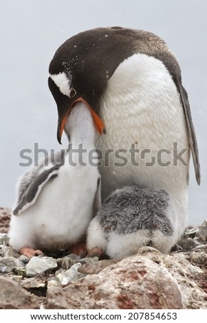 Gentoo penguin female that feeds one of the chicks in the nest - stock photo