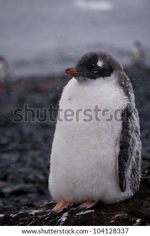 Gentoo Penguin in Antarctica - stock photo