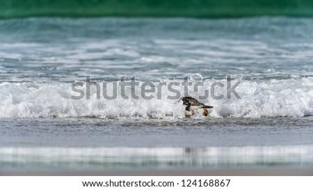 Gentoo penguin in front of the wave.  Falkland Islands, South Atlantic Ocean, British Overseas Territory - stock photo