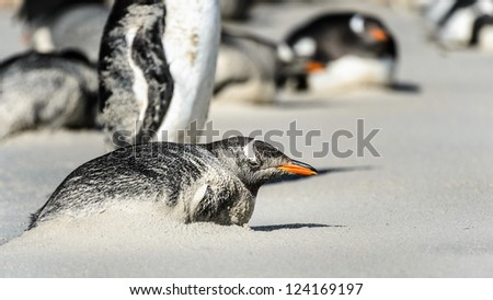 Gentoo penguin in the sand.  Falkland Islands, South Atlantic Ocean, British Overseas Territory - stock photo