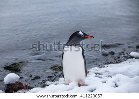Gentoo penguin near the ocean water in Antarctica - stock photo
