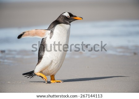 Gentoo penguin on the sand, Falkland Islands - stock photo