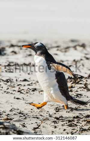 Gentoo penguin on the sand of the Falkland Islands - stock photo