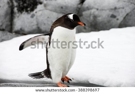 Gentoo penguin or pygoscellis papua is walking alone on the grey stone in Antarctica. - stock photo