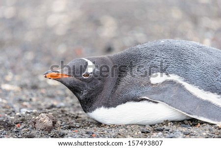 Gentoo penguin (Pygoscelis papua) close up - stock photo