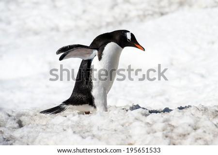 Gentoo penguin (Pygoscelis papua) close up in Antarctica - stock photo