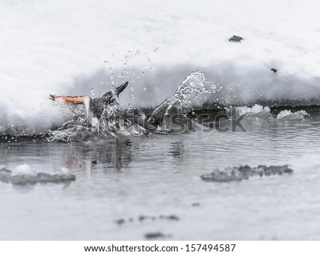 Gentoo penguin (Pygoscelis papua) drinks the water and falls down into the water - stock photo