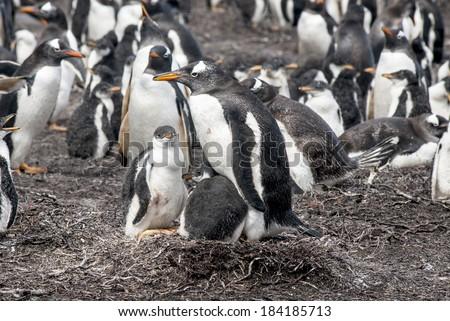 Gentoo Penguin - Pygoscelis papua - Falkland Islands - After rain  / Gentoo Penguin with two chicks - stock photo