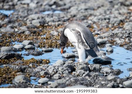 Gentoo Penguin (Pygoscelis papua) in Antarctica - stock photo