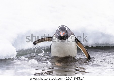 Gentoo penguin (Pygoscelis papua) in the water - stock photo