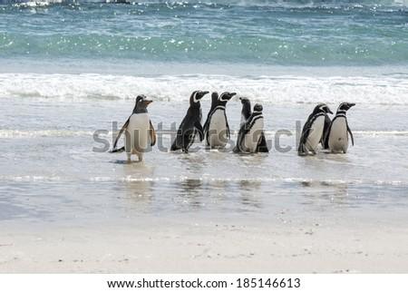 Gentoo Penguin - Pygoscelis papua - Magellanic Penguin - Spheniscus magellanicus - Falkland Islands /  Penguins - Magellan and Gentoo on the beach - stock photo