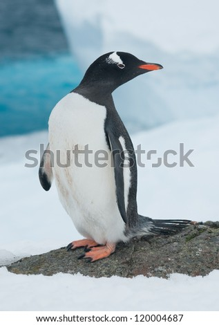 Gentoo penguin (Pygoscelis papua) on the background of the iceberg. - stock photo