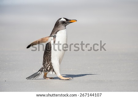 Gentoo penguin runs over the sand - stock photo