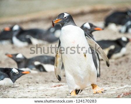 Gentoo penguin runs with something in the mouth.  Falkland Islands, South Atlantic Ocean, British Overseas Territory - stock photo